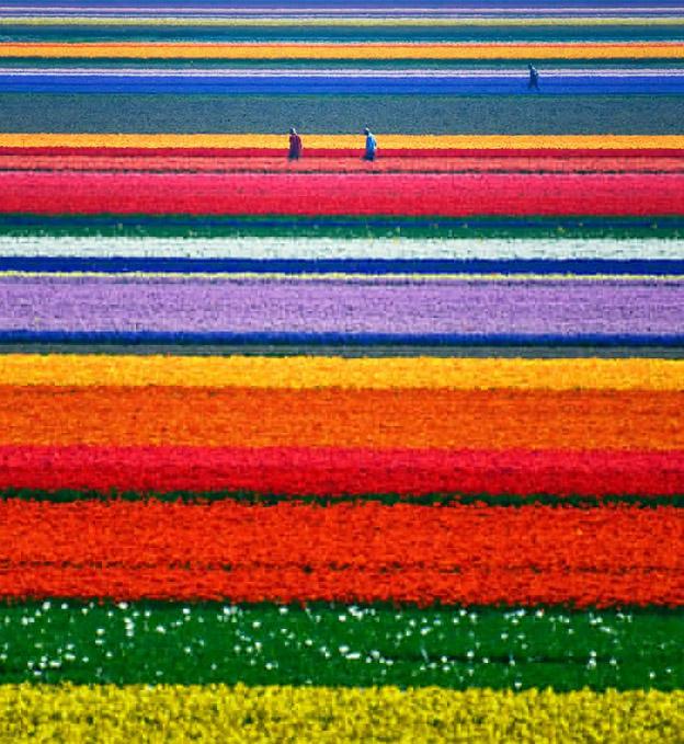 Campo-de-tulipas-Holanda